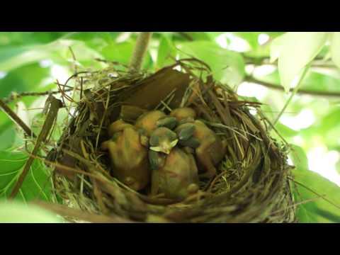 孵化2~3日後のヒヨドリの雛