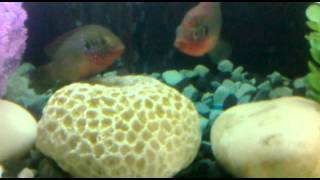 Jewel Fish Breeding