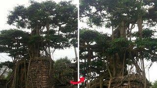 """LẠ: Đại gia gạ đổi biệt thự chục tỷ lấy """"cây sanh cổ"""" ở Thái Bình!"""