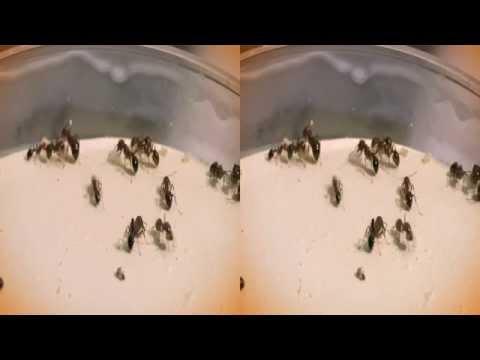 Fire Ants 3D hsbs