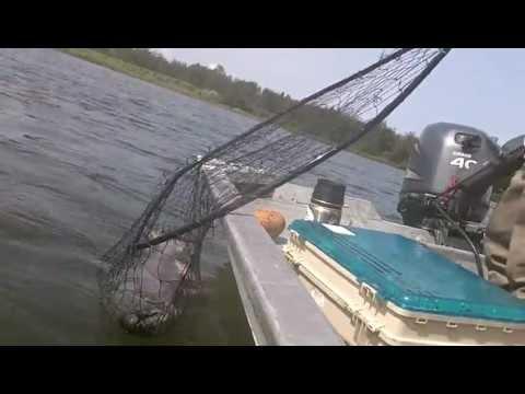 Alaskan King Salmon | Angler's Alibi