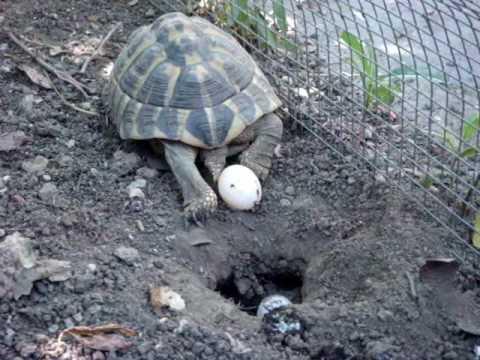 Deposizione uova tartaruga d 39 acqua parte 3 musica movil for Deposizione uova tartarughe