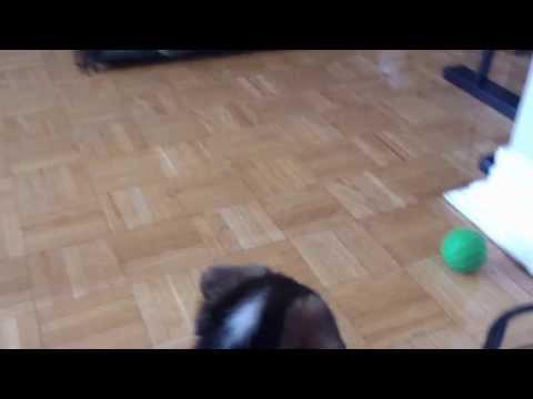 Štene Corgi i lopta