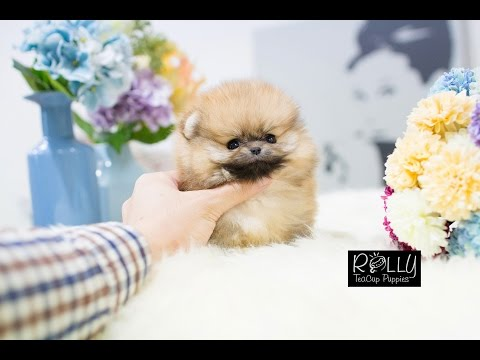 Fluffy Orange Teacup Pomeranian!! Dexter - Rolly Teacup Puppies