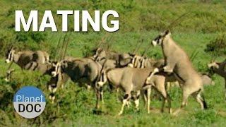 Mating. Shaba Animals    Nature - Planet Doc Full Documentaries