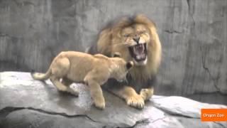 אריה פוגש גורים