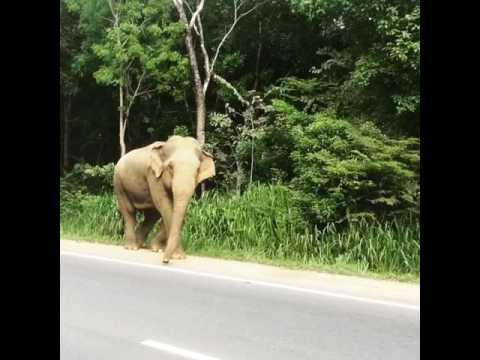 Wild Elephant along road in Habarana near Sigiriya