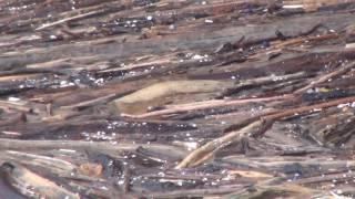 Thủy điện Lai Châu ngày đầu xả lũ năm 2015 rất nhiều gỗ