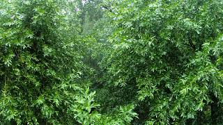 ♥♥ The Best Rain Forest Video - Ambient Sounds in Tree Canopy, 5 hours