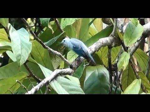 Baixar Pantaneiros, Fauna brasileira, Vida silvestre, Canto de pássaros,