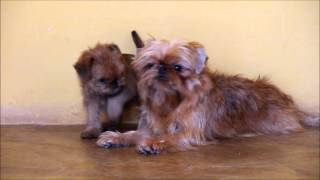 Cute Brussels Griffons