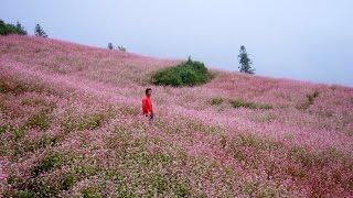 tháng 10 đẹp ngẩn ngơ hoa tam giác mạch- Hà Giang