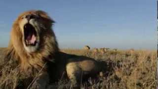 The Serengeti Lions Vumbi Pride I Leoni Del Serengeti Branco Vumbi