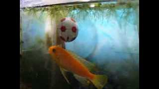 A fish that loves to kick soccer ball