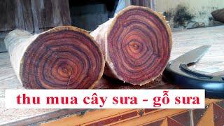 Khai thác lõi vườn cây gỗ sưa đỏ 20 năm tuổi, thu mua gỗ sưa cây sưa 0968567238