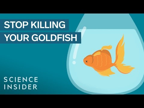 video Goldfish (for Aquarium | Fish Tanks)