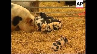 Mini pigs proving popular as pets