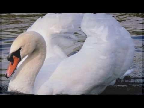 Витас -  Лебедь мой