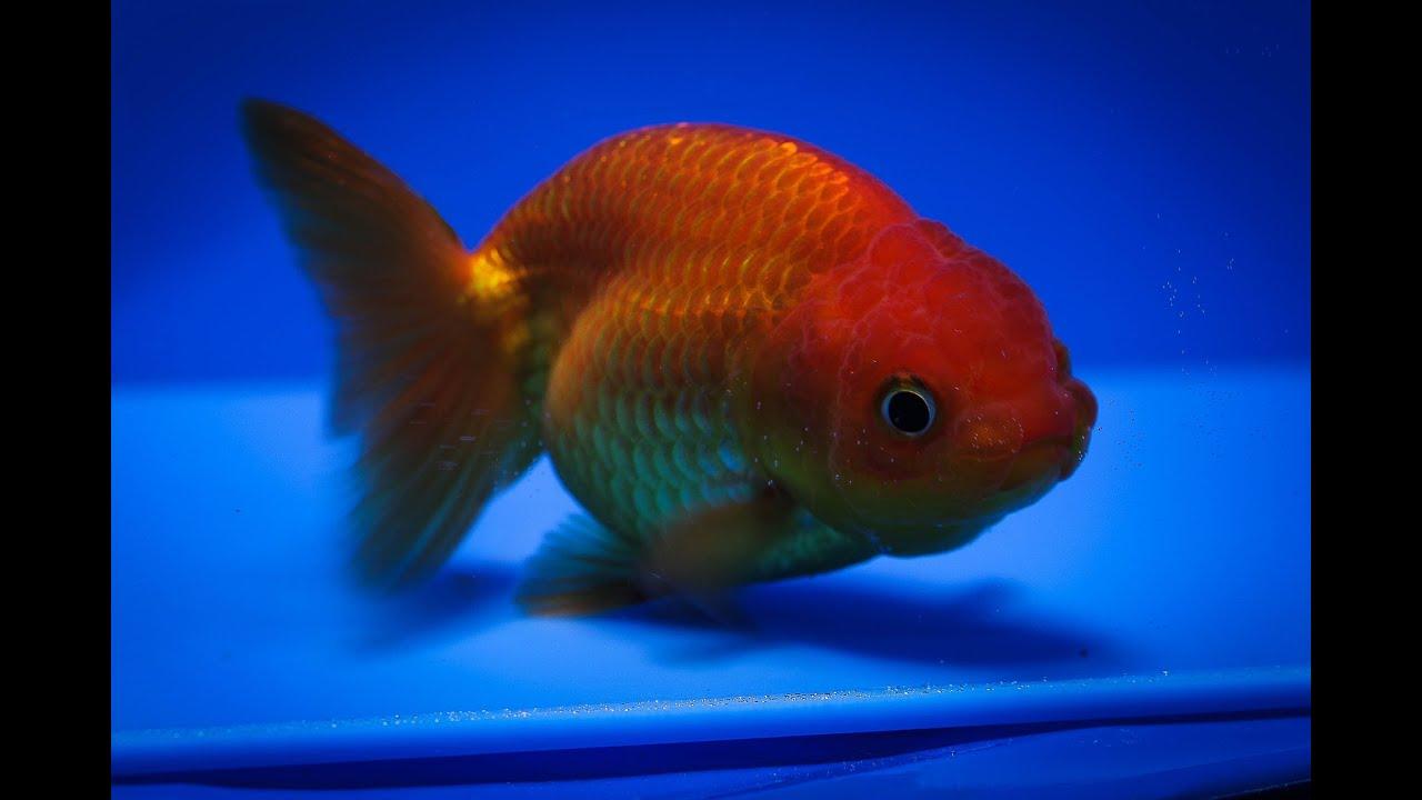Goldfish have sex