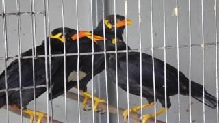 Chim nhồng (chim yểng) chuyền giá rẻ, 950.000đ/con 0939325037