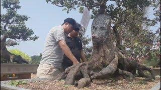 Cây khế hình con chó, cây dừa 15 ngọn giá bạc tỉ ở Phú Quốc