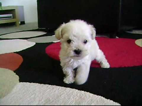 Tea Cup Poodles For Sale - YouTube