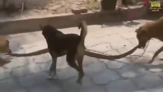Dog vs Cobra Snake fight   Wild animals fight to death  Animal Fights Caught
