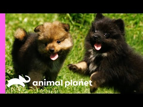 Pomeranian Puppies Meet Some Feathered Friends On Their Farm | Too Cute!