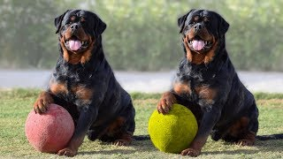 Most Amazing Facts about Rottweilers
