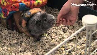 How to Care for a Pet Guinea Pig