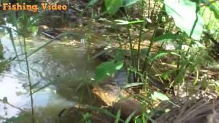 Nghệ thuật đỉnh cao câu cá chuối bằng vịt con, Fishing Video