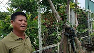 SH.1389.Độc đáo hiếm gặp cây Ổi có Lá Si của Ấn Độ.tại vườn Trần Hơn tp.Đà nẵng