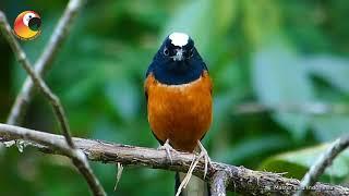 BANYAK YANG GAK TAU!!! ternyata ada ya Burung seperti ini..........Murai Batu Kalimantan Alis Putih