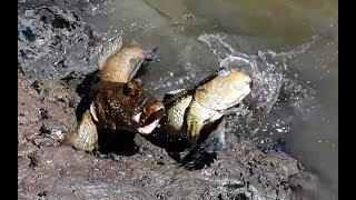 Cách săn bắt cá thòi lòi rất đơn giản - cả triệu 1 ngày.