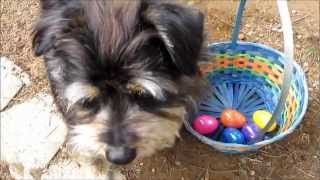Easter Egg Hunt with Koby AKA Puppy Einstein, Happy Easter!