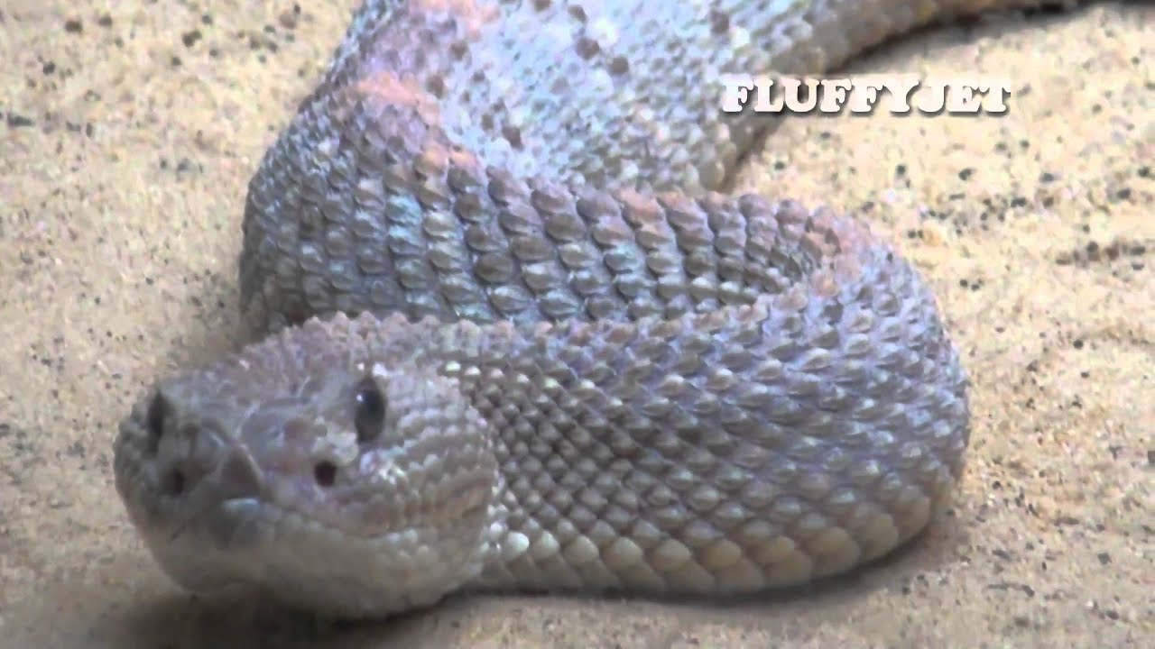RATTLESNAKE - Most Deadly Reptiles - Quick Facts - Snake ...
