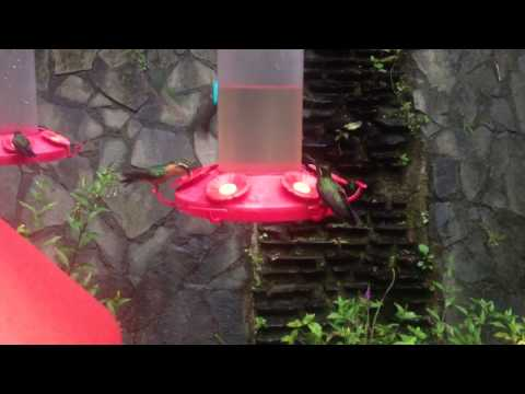 Hummingbirds at Monteverde, Costa Rica