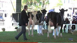 A pecuária de leite foi um dos destaques da Expointer 2021, na retomada das feiras agropecuárias