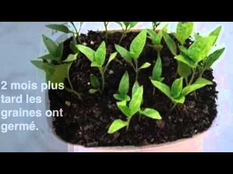 Semis de courgettes et de concombres en bouteilles plastique musica movil - Comment planter des poivrons ...
