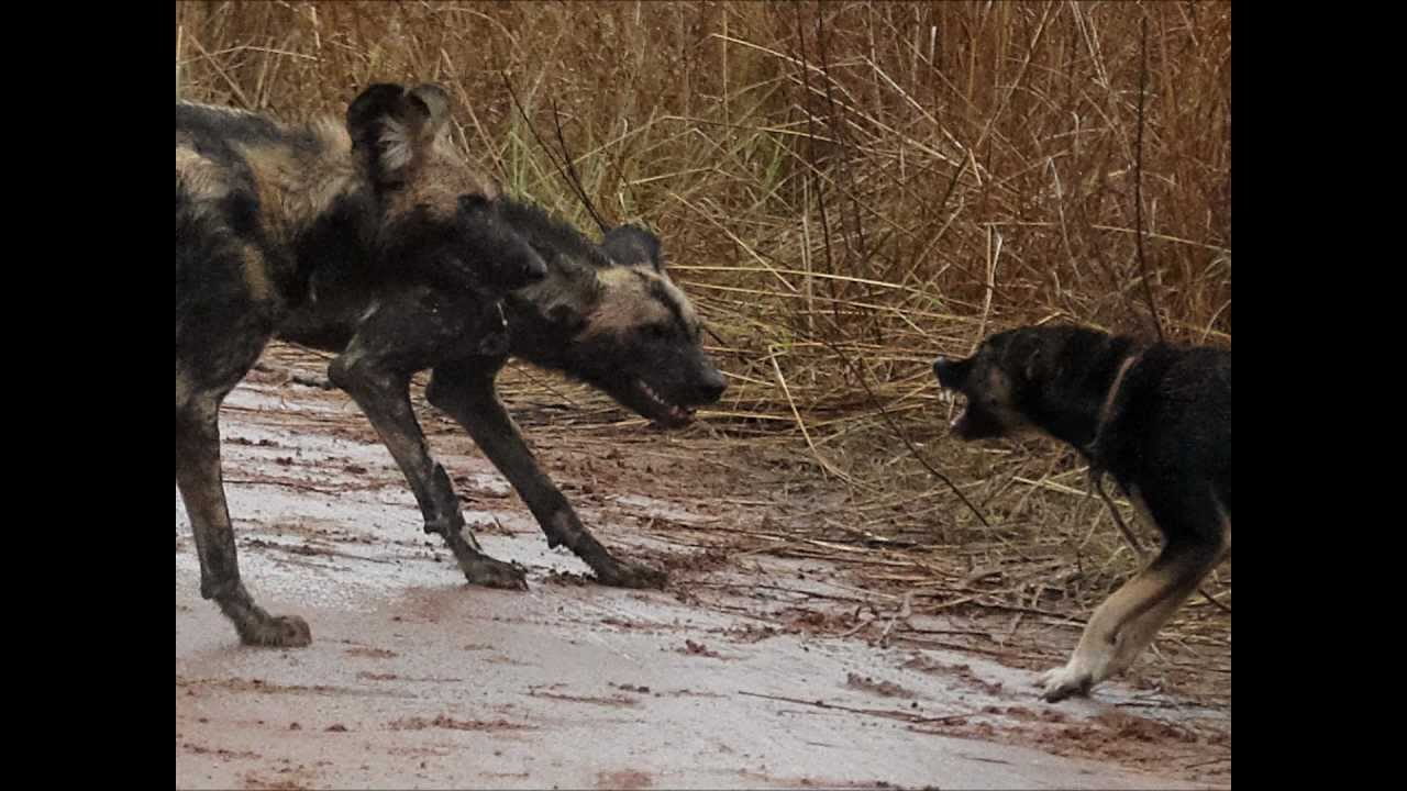 Wild dogs vs domestic dog - YouTube