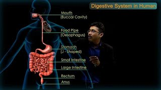 Digestive System in Human : CBSE Class 10 Science (Biology)