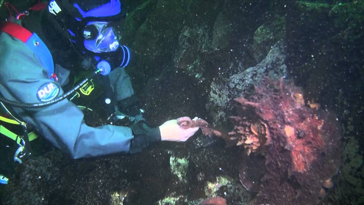 Giant Octopus Attacks Diver