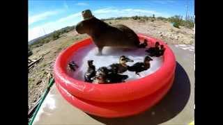 Capybara Pool Party!