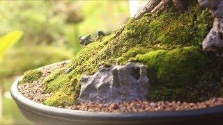 Jack (Penjing) Pingo de Ouro - vídeo 9