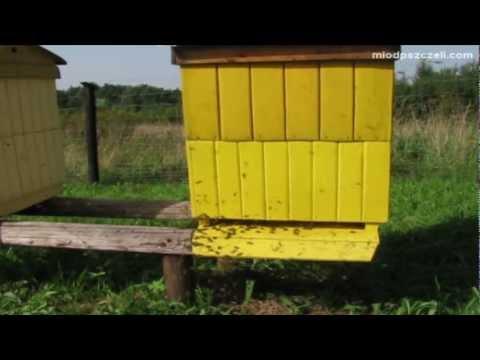 Oblot młodej pszczoły