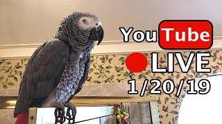 🔴🐦Einstein  Parrot LIVE! 1/20/19 Fun with Jeff!