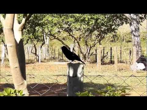 Baixar O canto do Pássaro Preto,na natureza