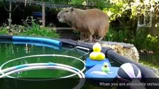 Capybara Training: Swimming 101