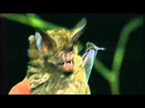 Nautilus Pompilius / Наутилус Помпилиус - Летучая мышь