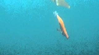 アオリイカの捕食1